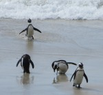 penguins at the beach in South Africa